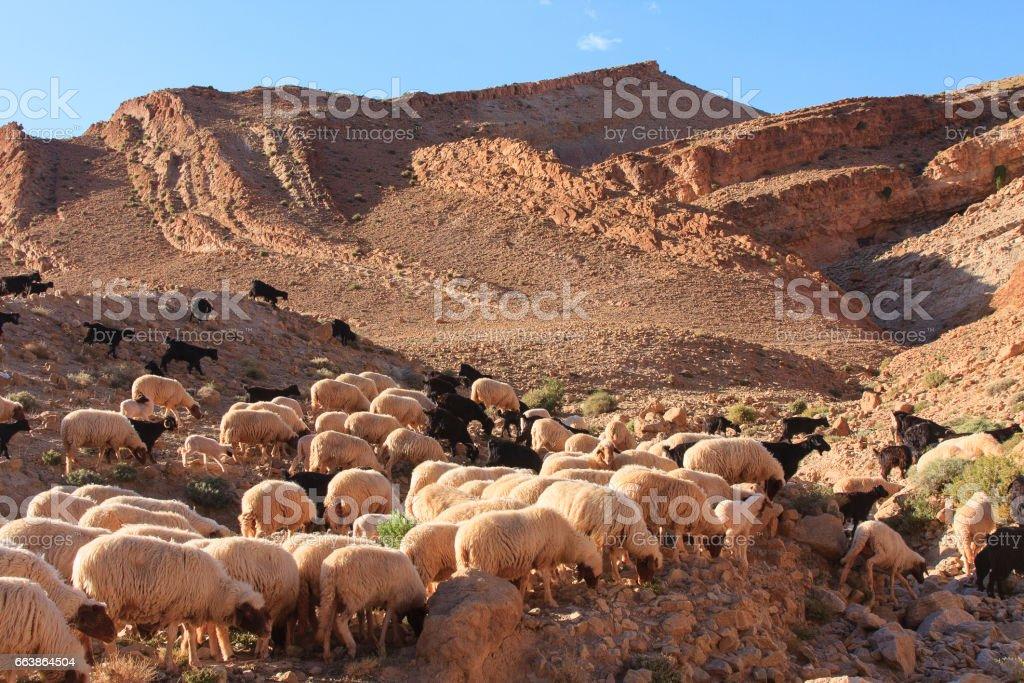 Goats in Atlas mountain Morocco – zdjęcie