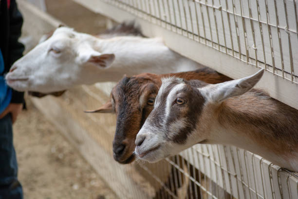 Goats In Half Moon Bay stock photo