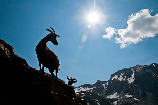 Goats in mountain stock photo