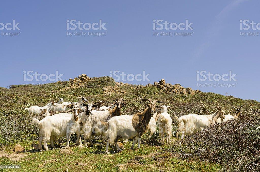 Goats in Sardinia royalty-free stock photo