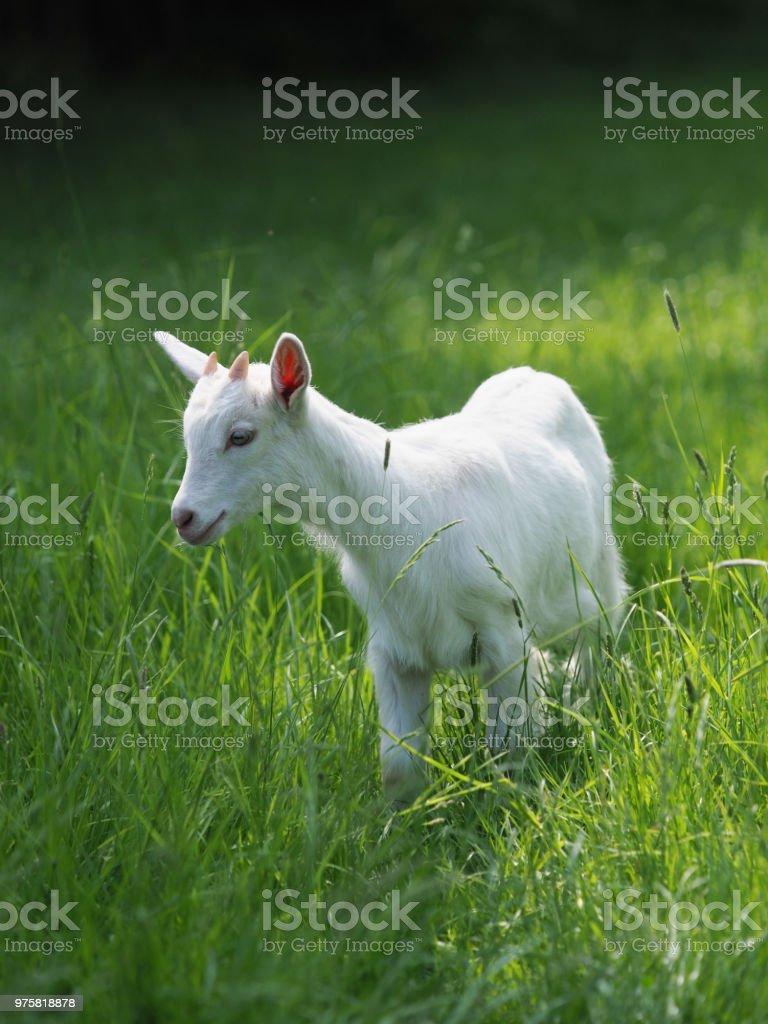Ziegen im Sommer Paddock - Lizenzfrei Agrarbetrieb Stock-Foto
