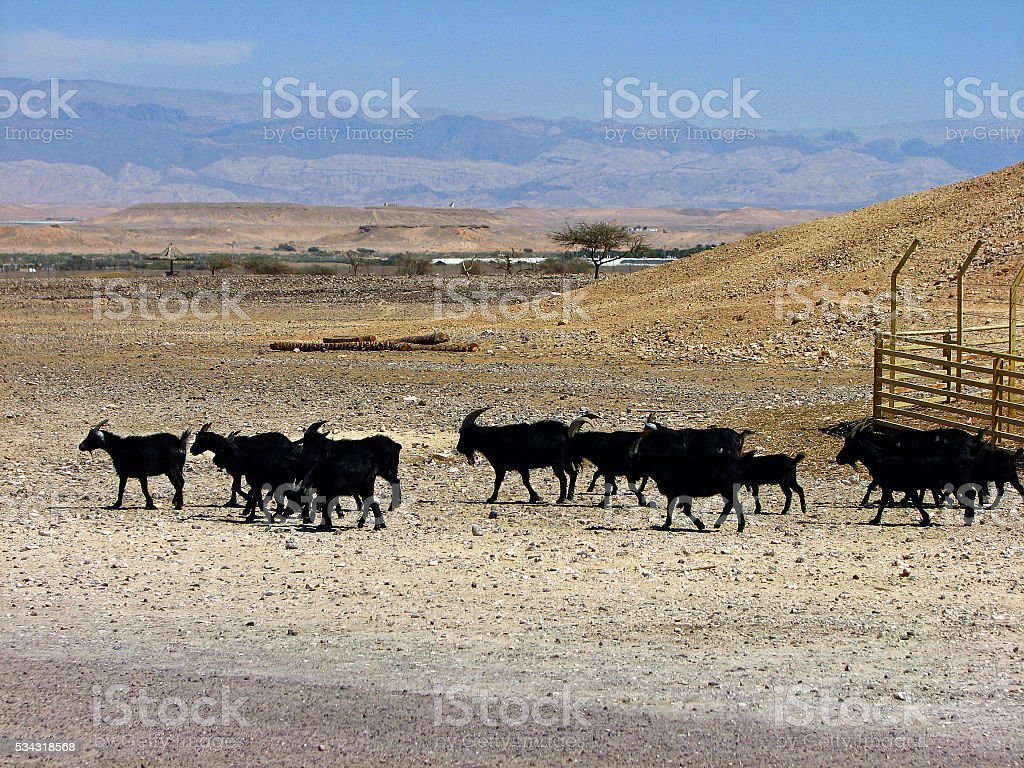 Goats in the Desert stock photo