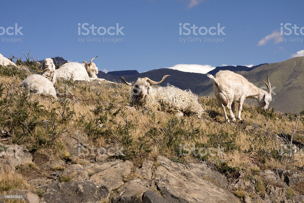 Goats in the mountain royalty-free stock photo