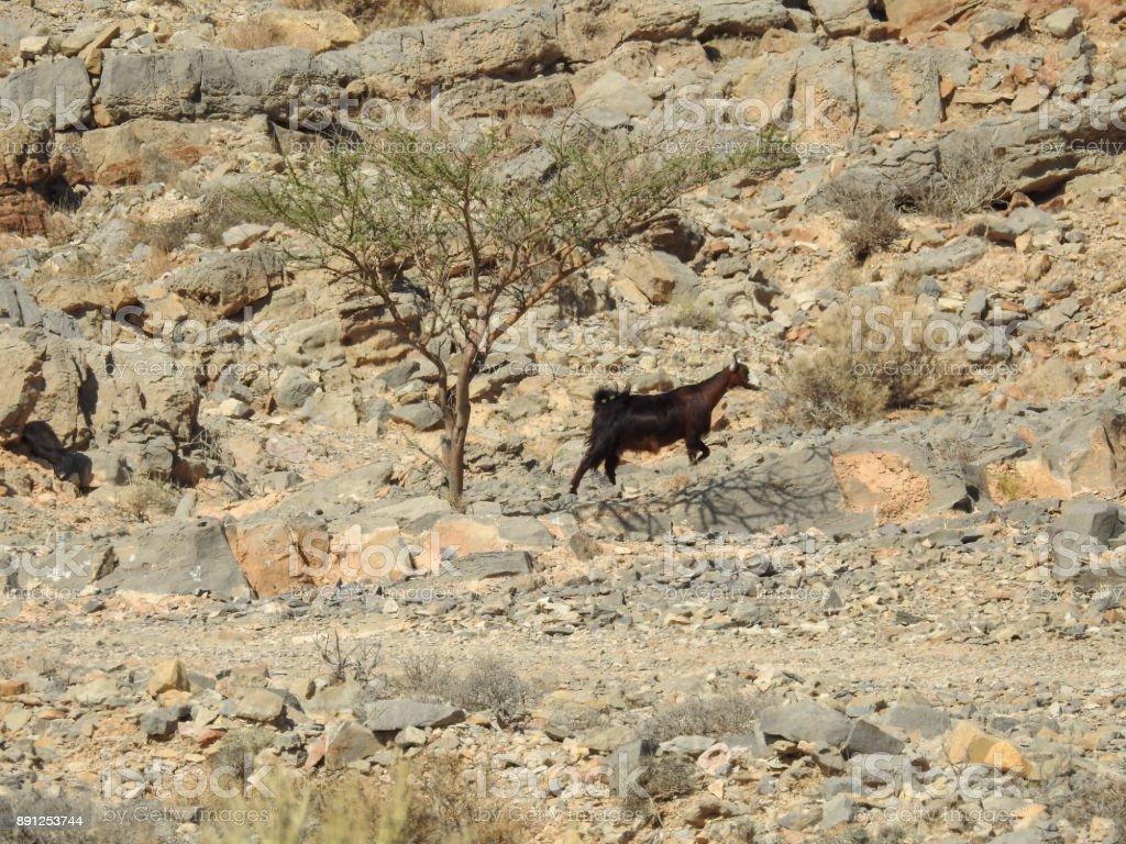 Goats in the mountains near Khatt village. UAE stock photo