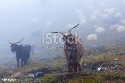 Herd of goats and sheeps over mist in the Nepal Himalaya