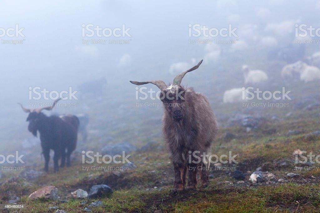 Chèvres de l'Himalaya, Népal - Photo