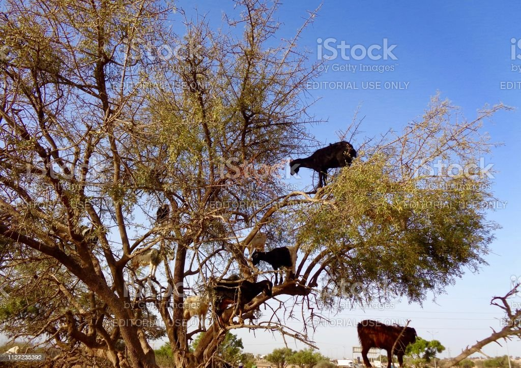 Goats in the trees in Morocco stock photo