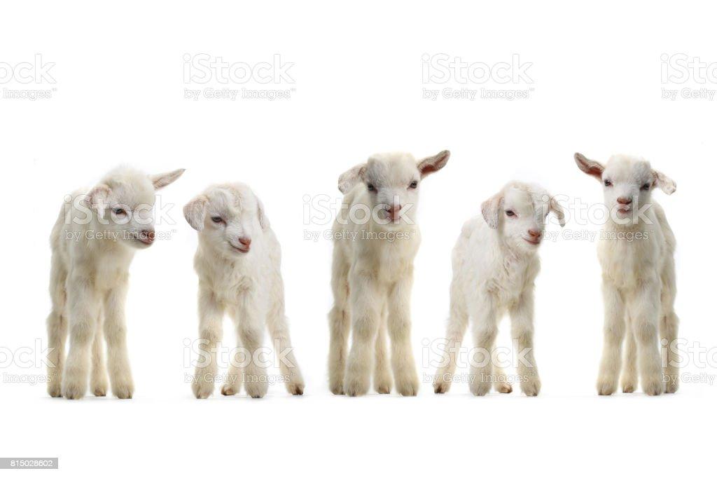garoto de cabras - foto de acervo