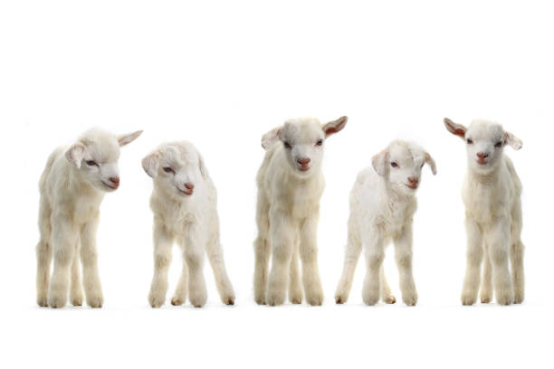 goats kid stock photo