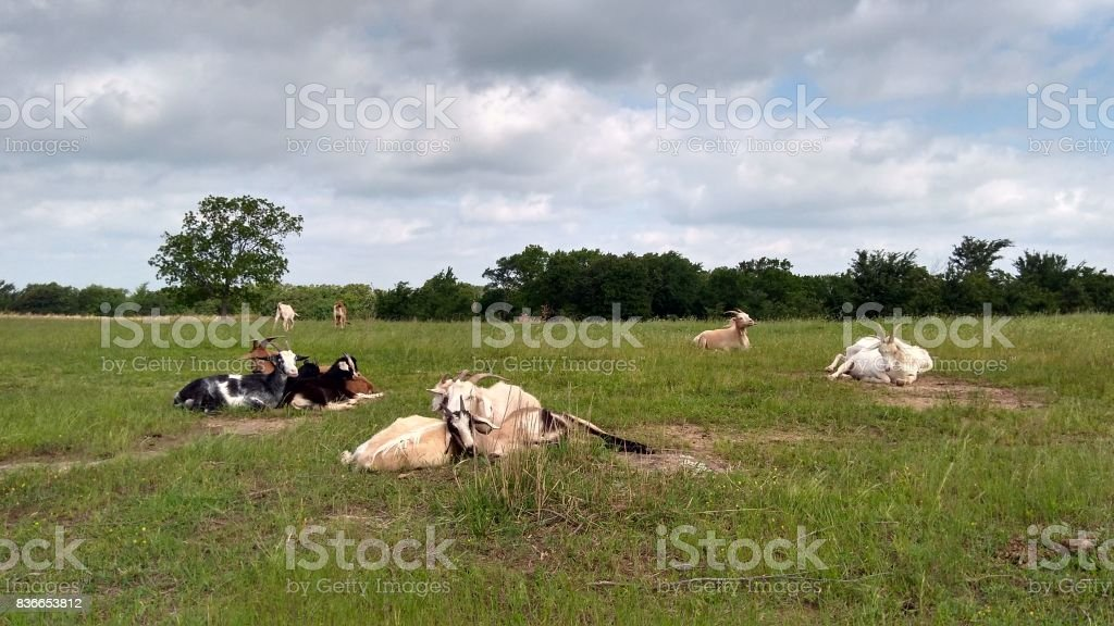 Goats Napping in a field stock photo