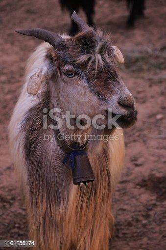 Animal, Sheep, Iran, Shiraz, Agriculture, Animal Body Part