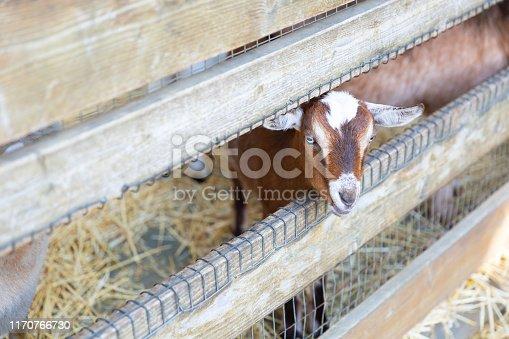 istock Goats on a farm near fence 1170766730