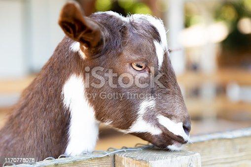 istock Goats on a farm near fence 1170778078
