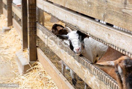 istock Goats on a farm near fence 1171546202