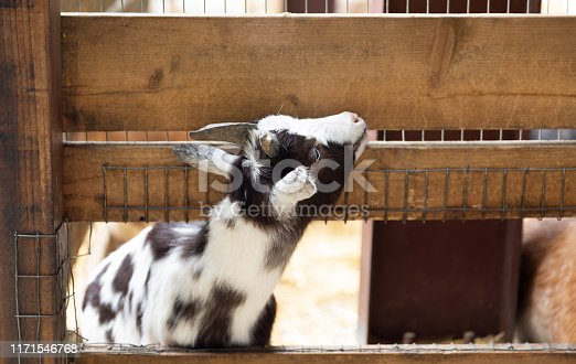 istock Goats on a farm near fence 1171546768