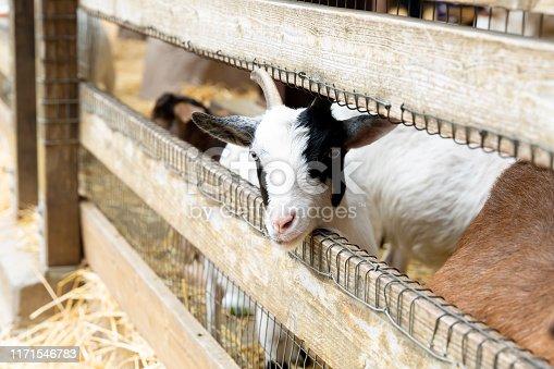 istock Goats on a farm near fence 1171546783