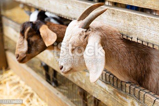 istock Goats on a farm near fence 1171786005