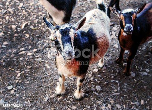 istock Goats on a farm 863307502