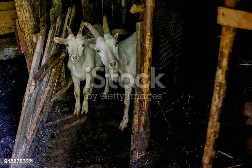 istock Goats on a stable in a farm 945878322