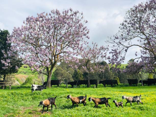 Ziegen auf australischer Farm im Frühjahr – Foto