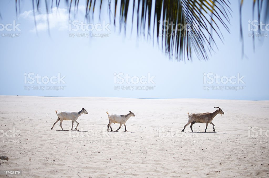 Goats on Beach royalty-free stock photo