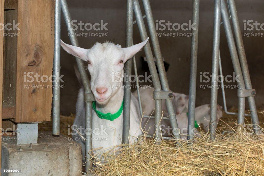 Les chèvres sur ferme dans le paddock à la base - Photo
