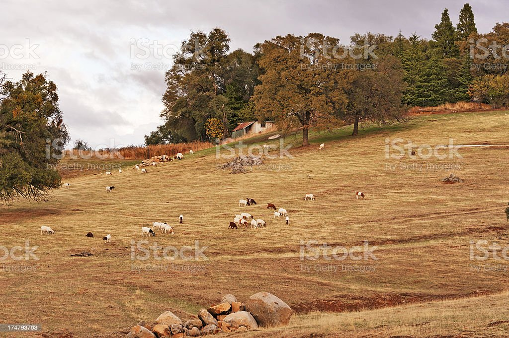 Goats on Hillside royalty-free stock photo