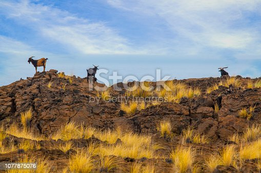 Goats standing on hill top on Big Island of Hawaii