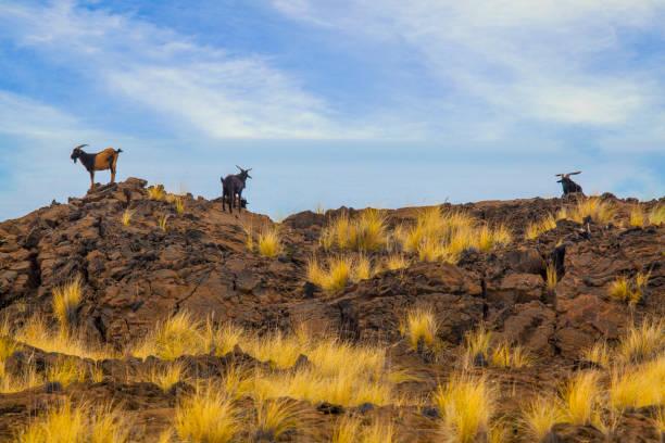 Goats on on Big Island, Hawaii stock photo