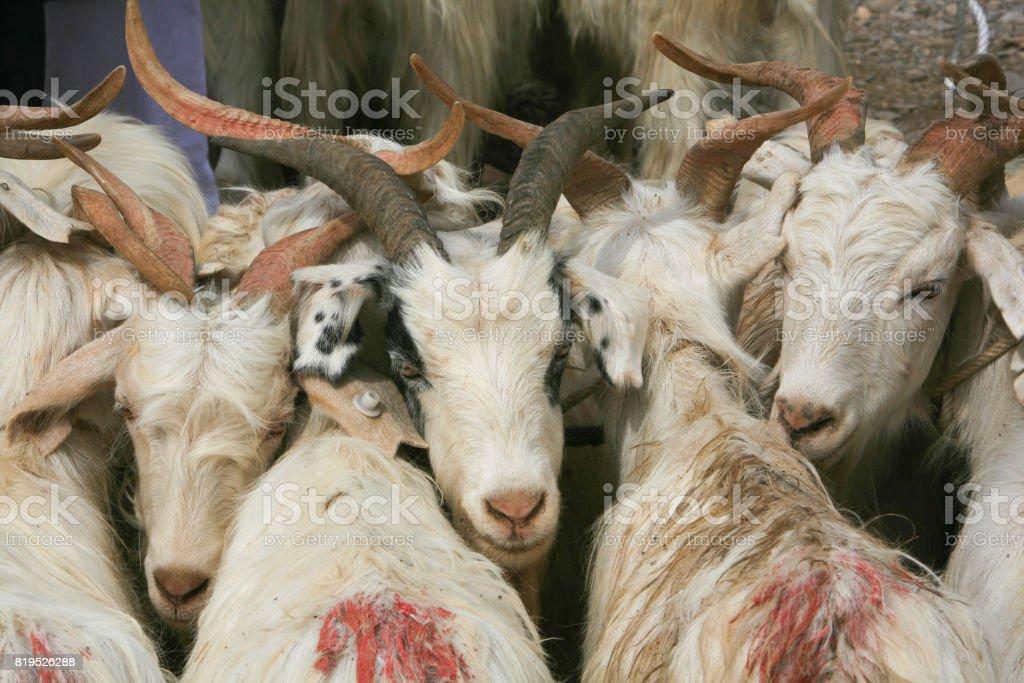 Goats On Sale At The Kashgar Sunday Livestock Market China