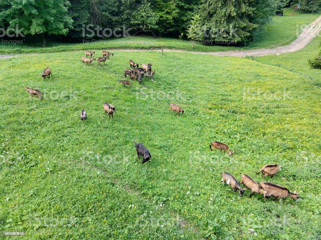 Goats on the hill. zbiór zdjęć royalty-free
