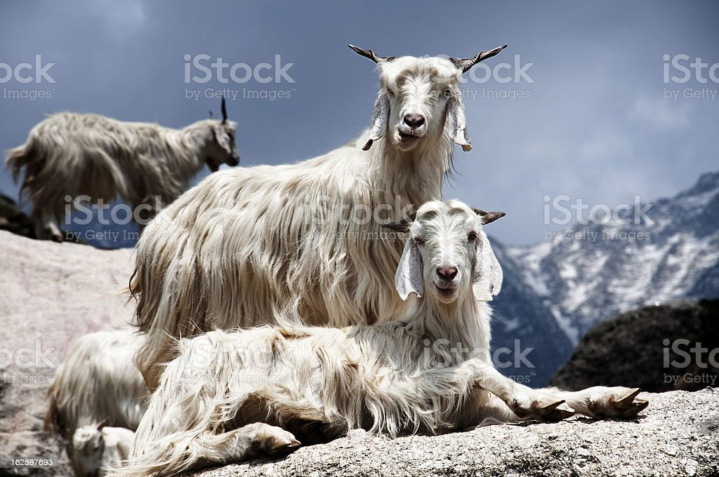 Goats on the Rocks stock photo