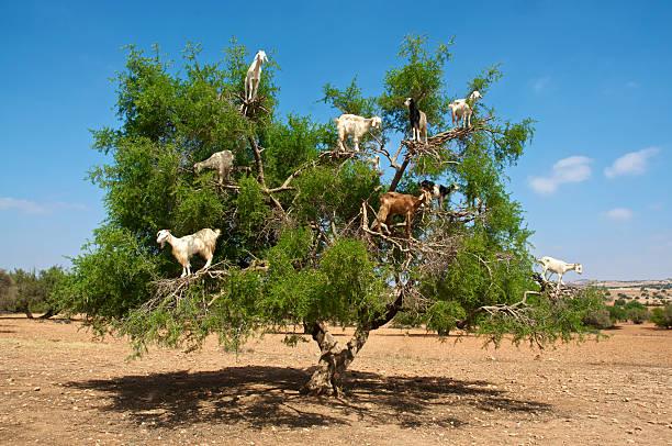 Les chèvres sur arbre manger d'argan, Marocco - Photo