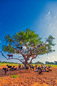 Goats graze on the Argan tree, Morocco