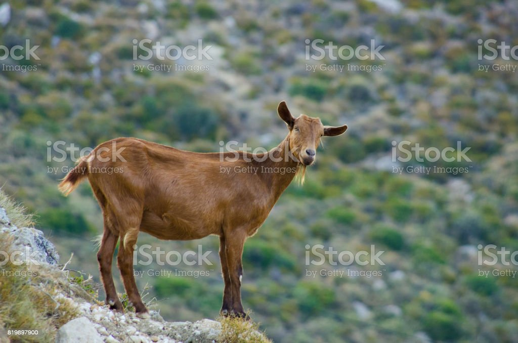 Goats on Zakynthos island, Greece stock photo