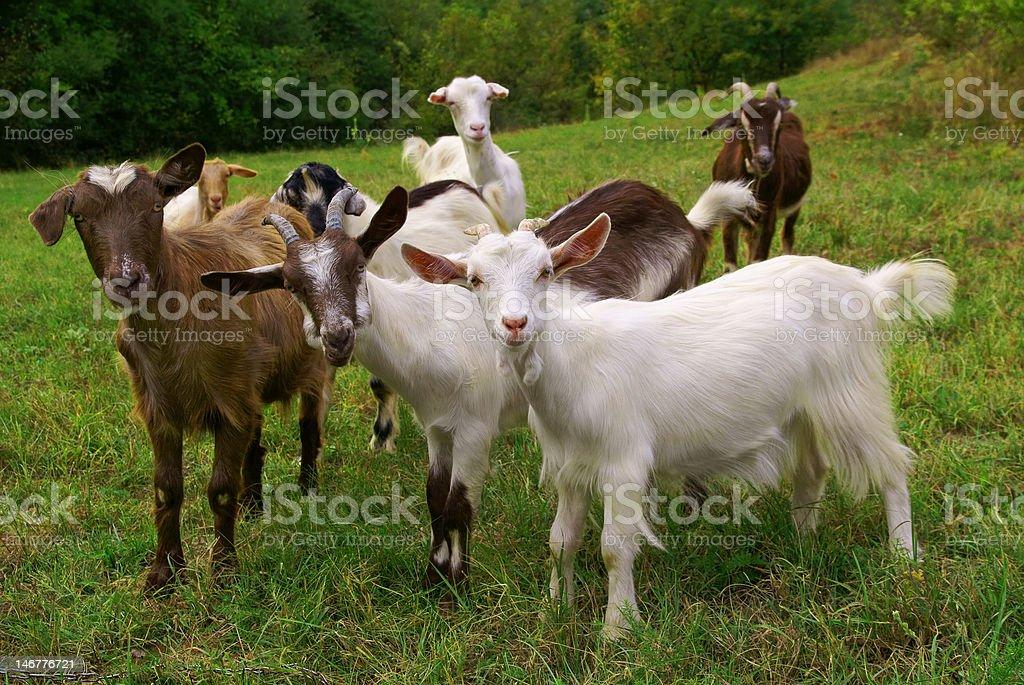 Cabras - foto de acervo