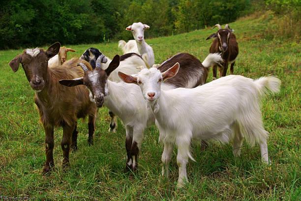 Chèvres - Photo