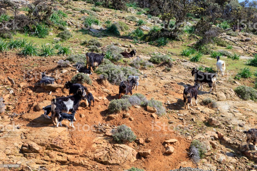 Goats walking on rocks stock photo