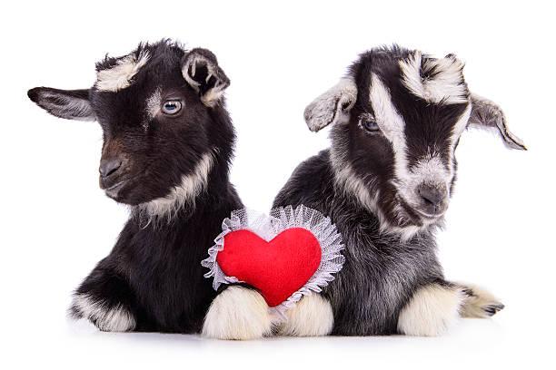Cabras con corazón - foto de stock