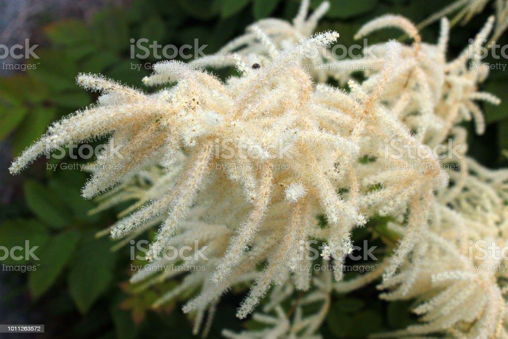 Goatsbeard flowers (Aruncus dioicus), Norway stock photo