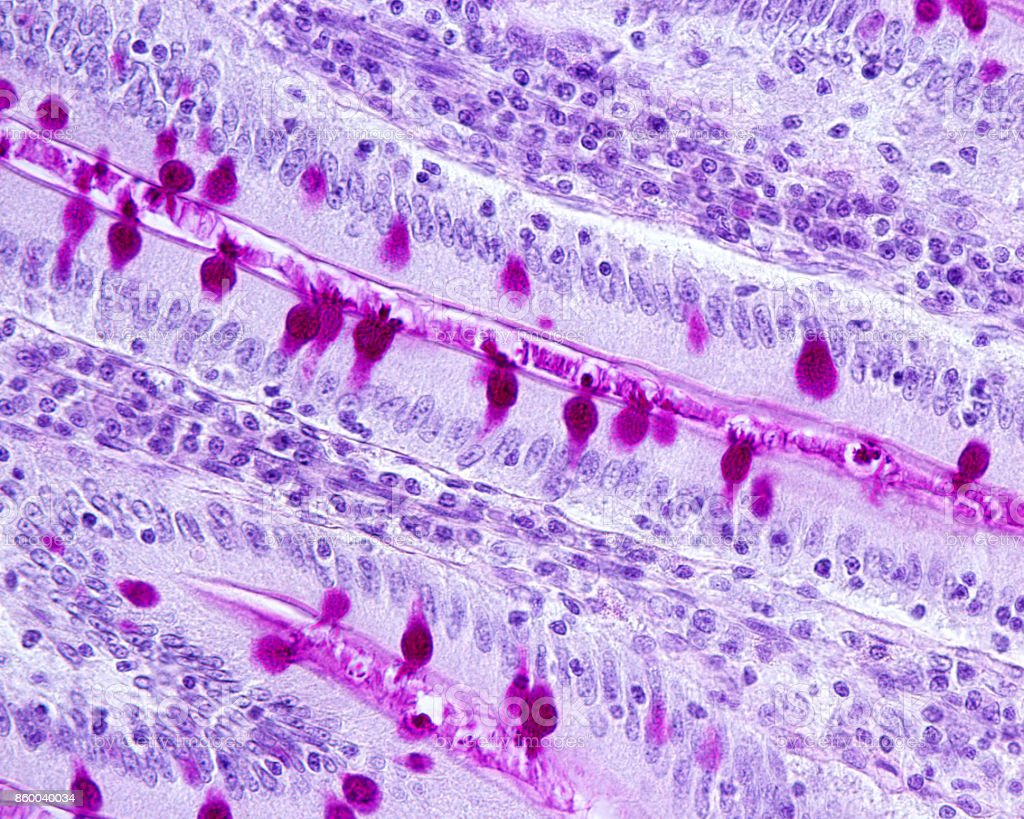 Goblet cells. Small intestine epithelium stock photo