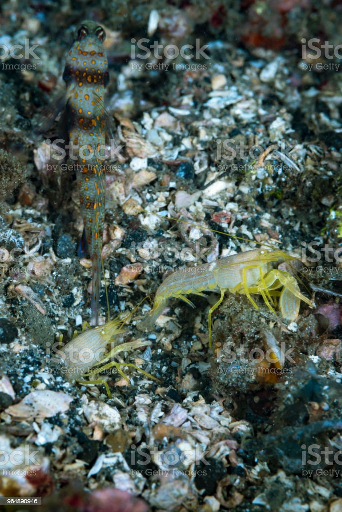 Goby and pistol shrimps royalty-free stock photo