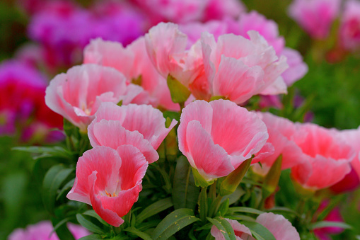 """Godetia, also called Clarkia, Farewll-to-Spring, Satin flower, Summer's darling, is an annual flowering plant, which produces cup-shaped flowers in clusters at the tip of strong stems. Flowers are white, red, pink, orange and purple colors. There are also double varieties.\nAs Godetia is also called """"Farewell to Spring,"""" Codetia flowers come into their peak as soon as temperatures begin to rise at the start of summer."""