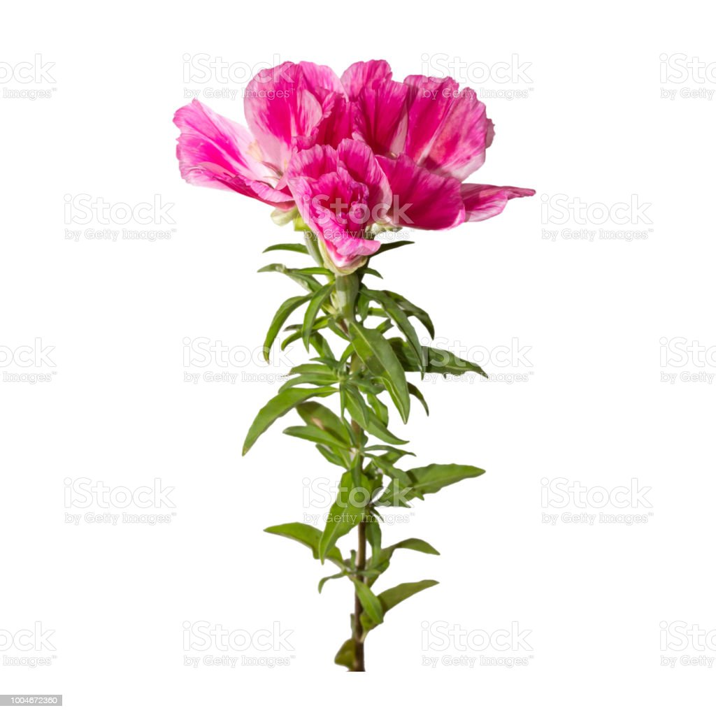 Godetia Flower Isolated A Branch Of Beautiful Pink And Purple Spring Flowers Stock Photo Download Image Now Istock
