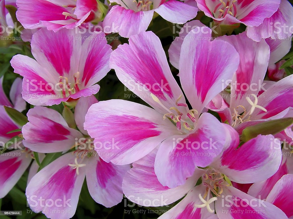 Godetia flowers royalty-free stock photo
