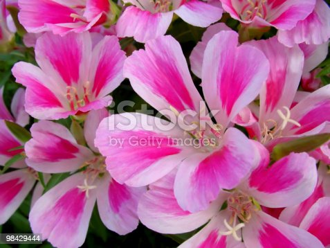 Godetia Flowers Stock Photo & More Pictures of Annual
