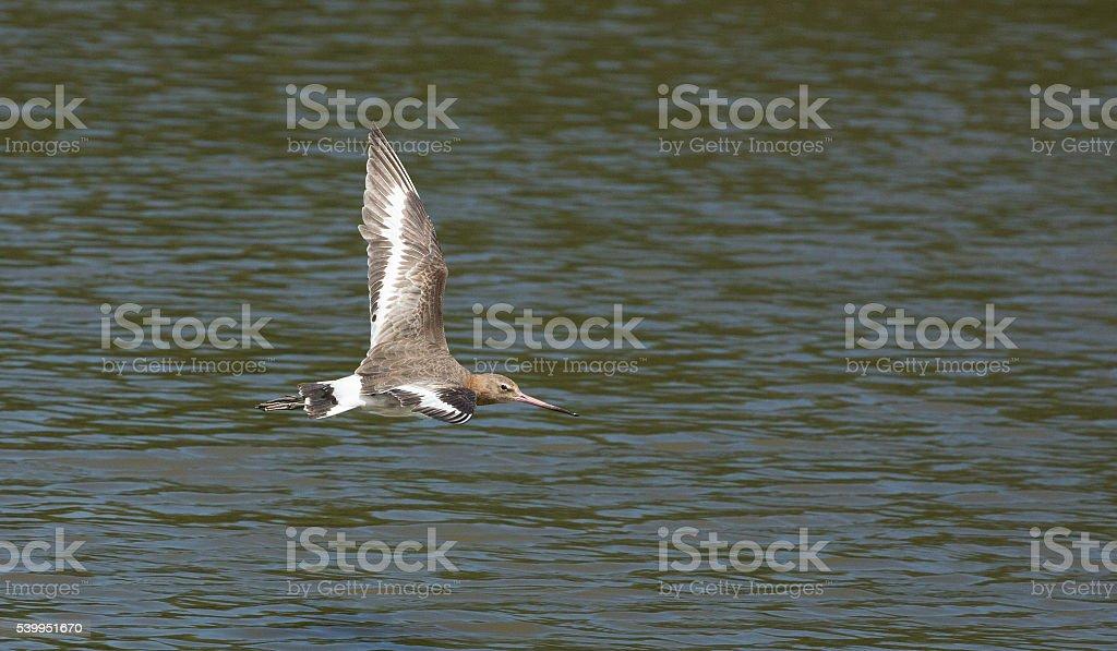 godwit stock photo