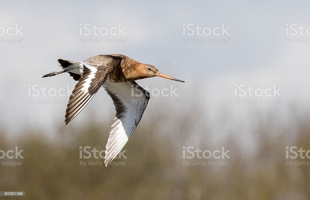 godwit seabird stock photo