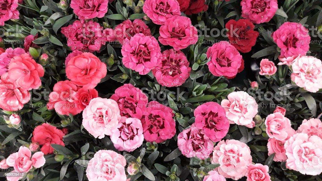 Gożdziki - Photo de Arbre en fleurs libre de droits