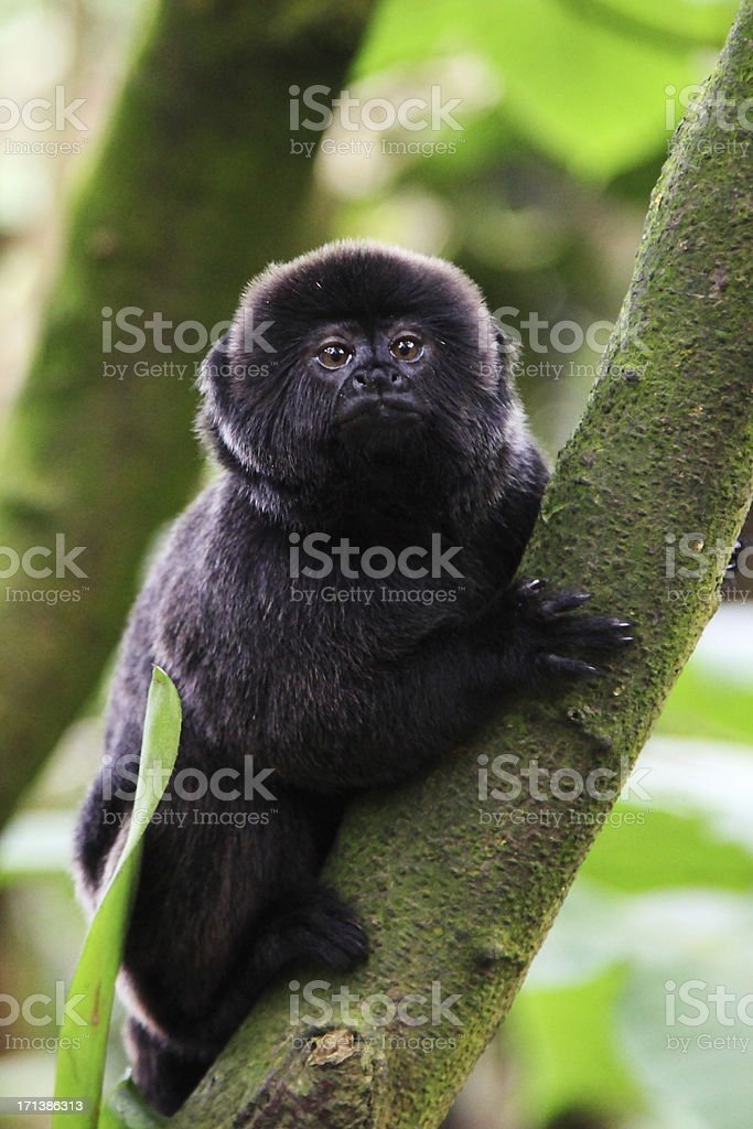 Goeldi's monkey - Callimico goeldii stock photo